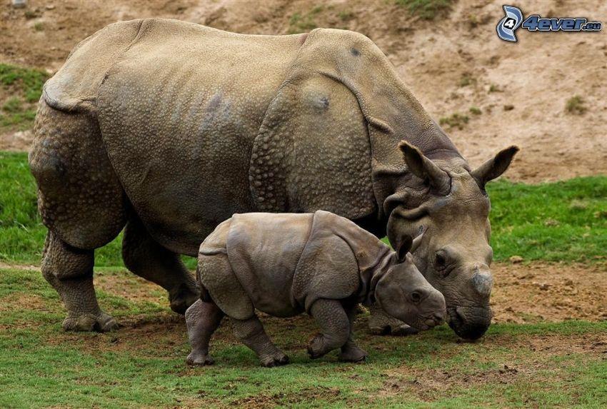 nosorożec, mały nosorożec