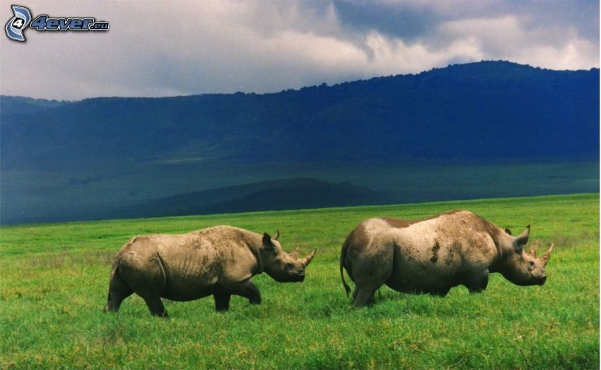 nosorożec, pasmo górskie, łąka