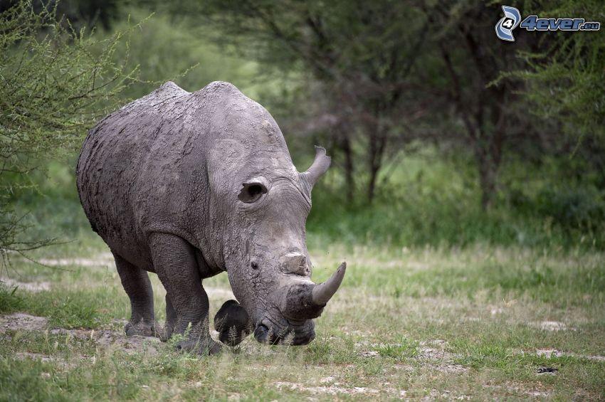 nosorożec, przyroda