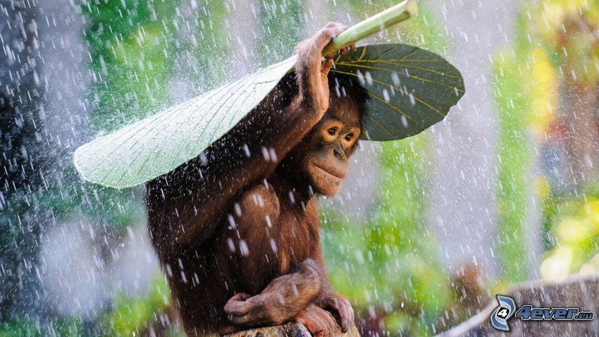 orangutan, deszcz, liść