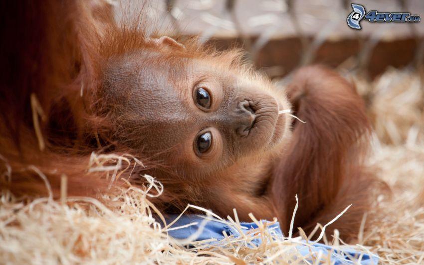 orangutan, młode