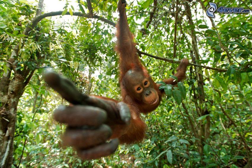 orangutan, ręka, palec, dżungla
