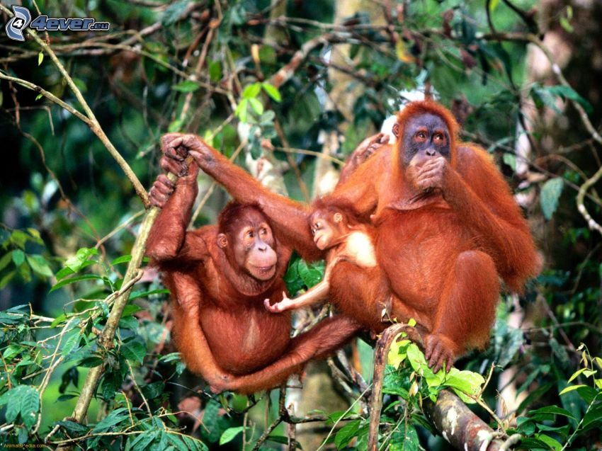 orangutany, rodzina, drzewa
