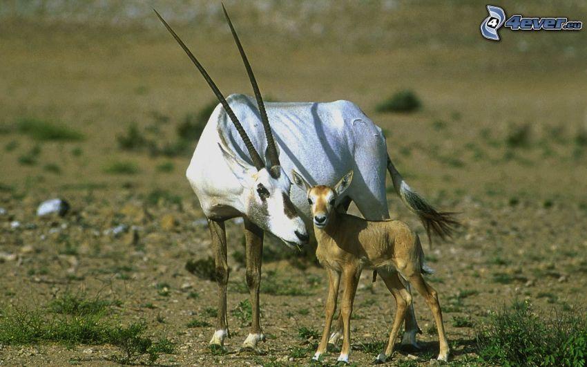 oryx, młode
