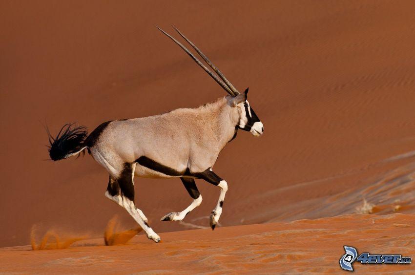 oryx, pustynia