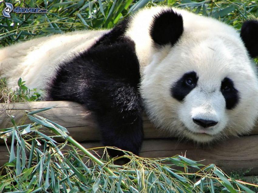 panda, drewno