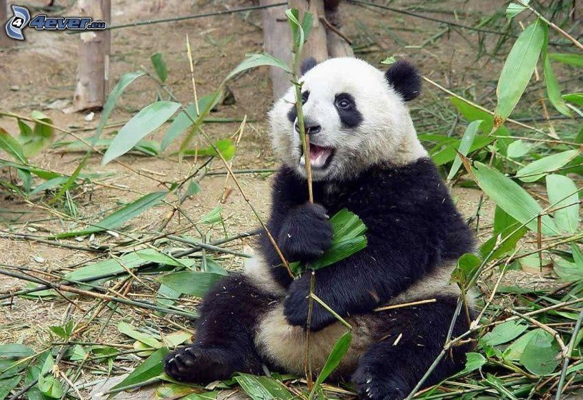panda, młode, eukaliptus