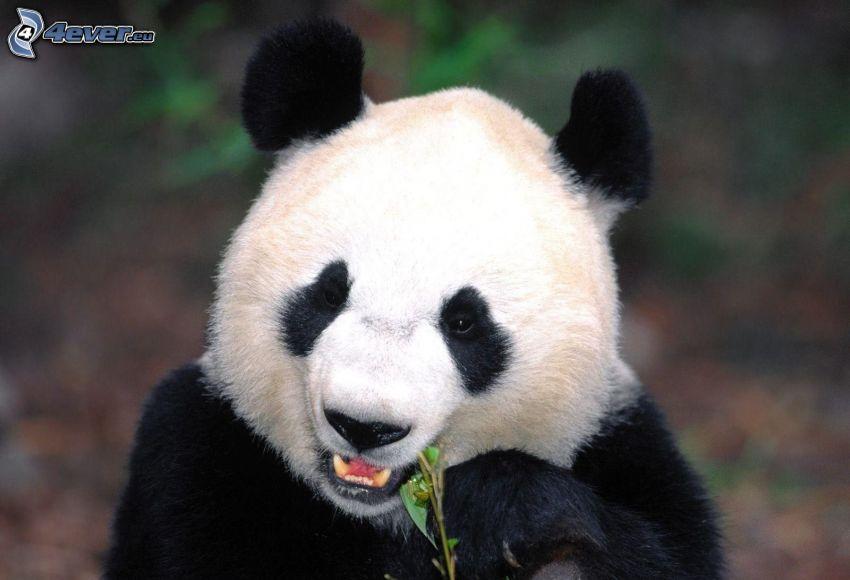 panda, pokarm