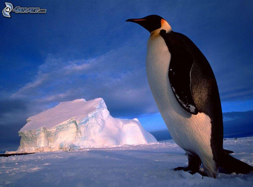pingwin, śnieg, lodowiec