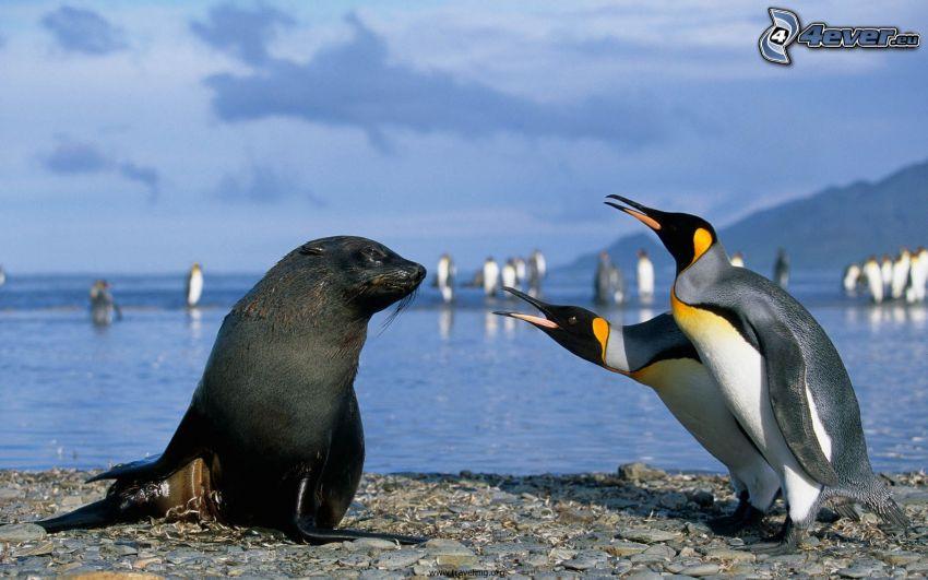 pingwiny, foka