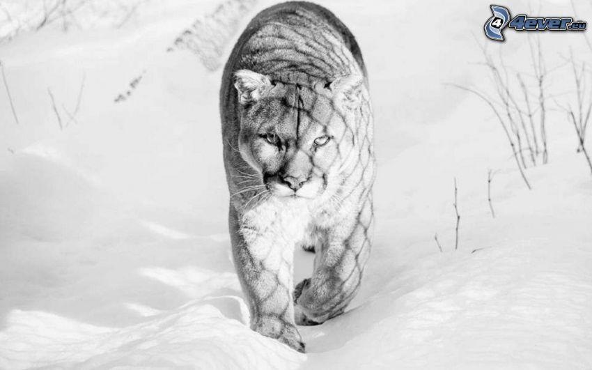 puma, śnieg, czarno-białe zdjęcie