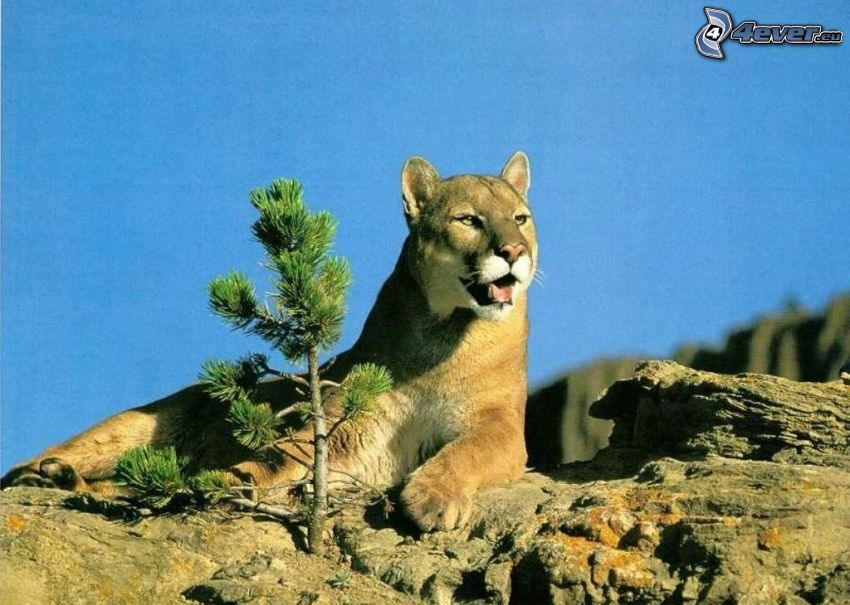 puma, zwierzęta, przyroda, dzicz, wolność