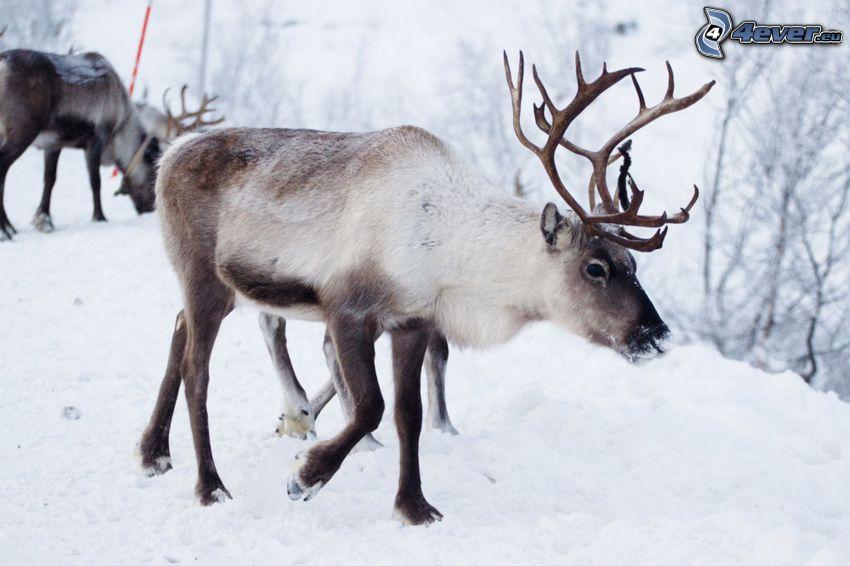 renifery, śnieg