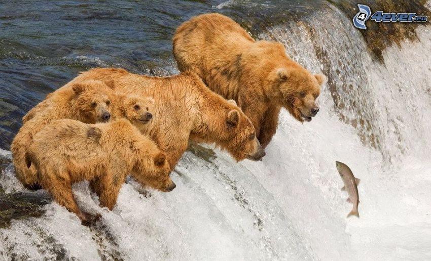rodzina niedźwiedzi grizzly, niedźwiedzie nad wodospadem, strumyk, łosoś