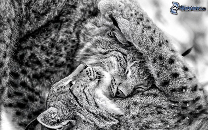 rysie, czarno-białe zdjęcie