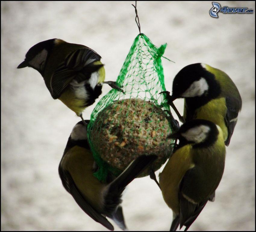 sikorki, ptaki, karmienie