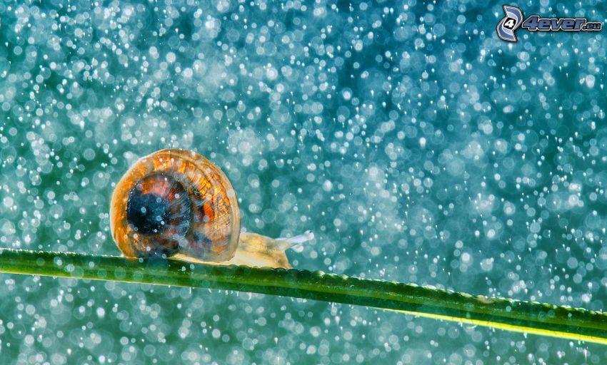 ślimak, źdźbło, deszcz