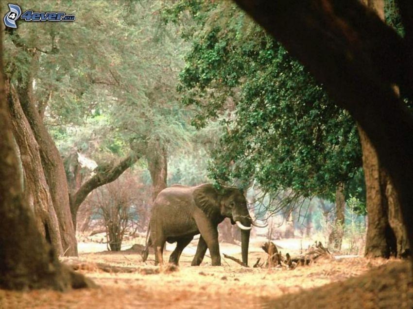 słoń, drzewa