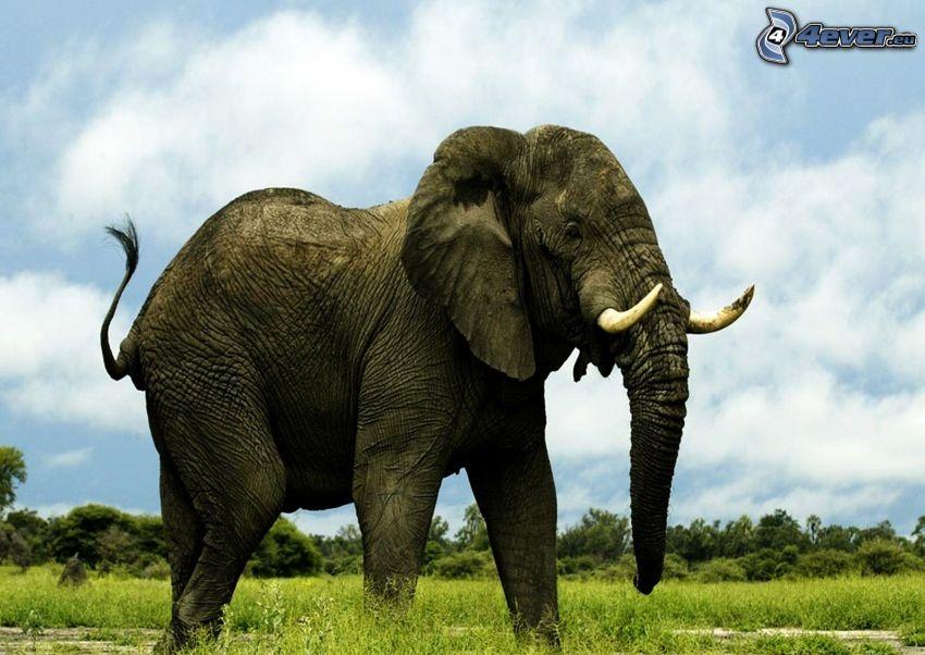 słoń, niebo