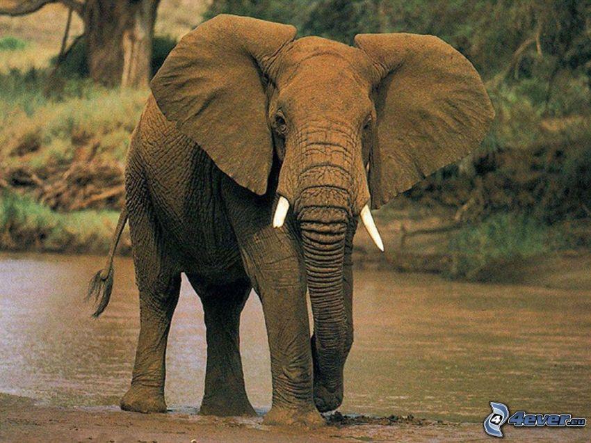 słoń, rzeka