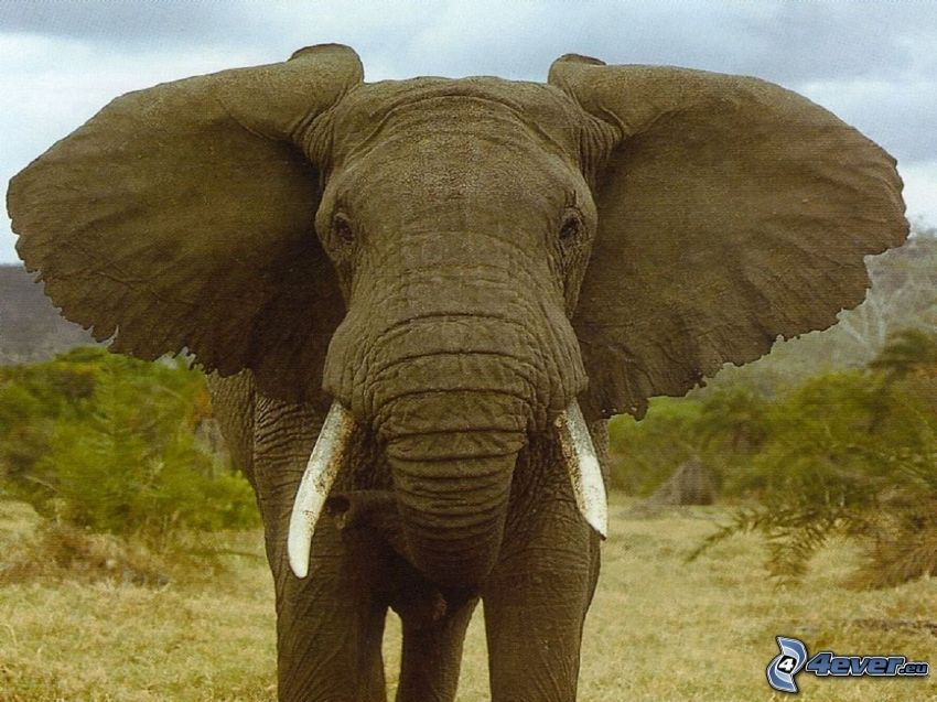słoń, uszy