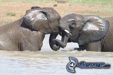 słoń, woda, pocałunek, walka