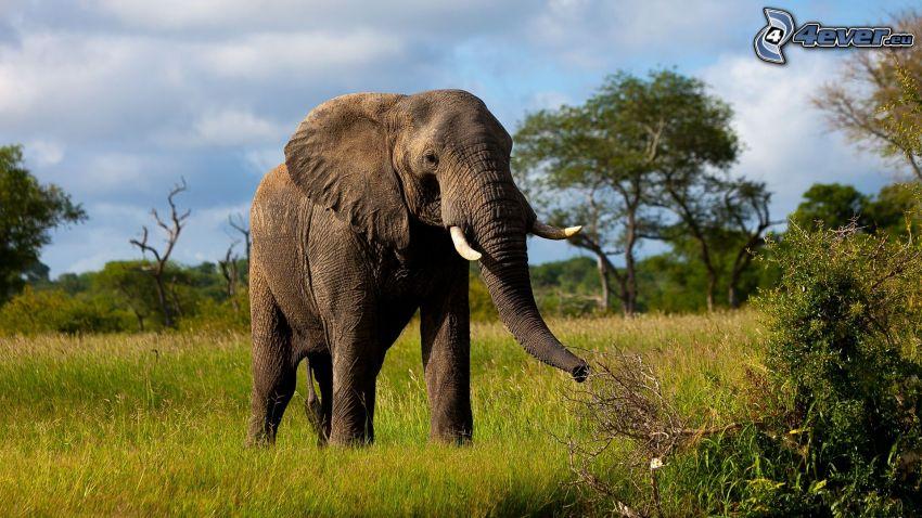 słoń, zieleń