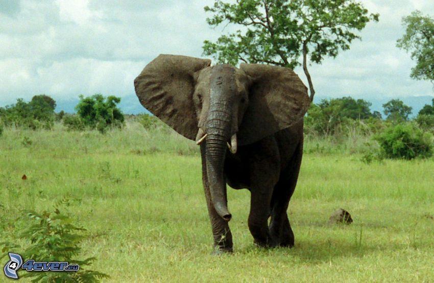 słoń, zielona łąka