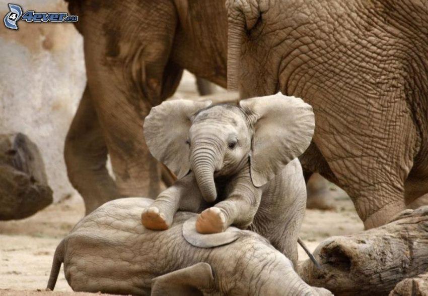 słoniątka, Słonie