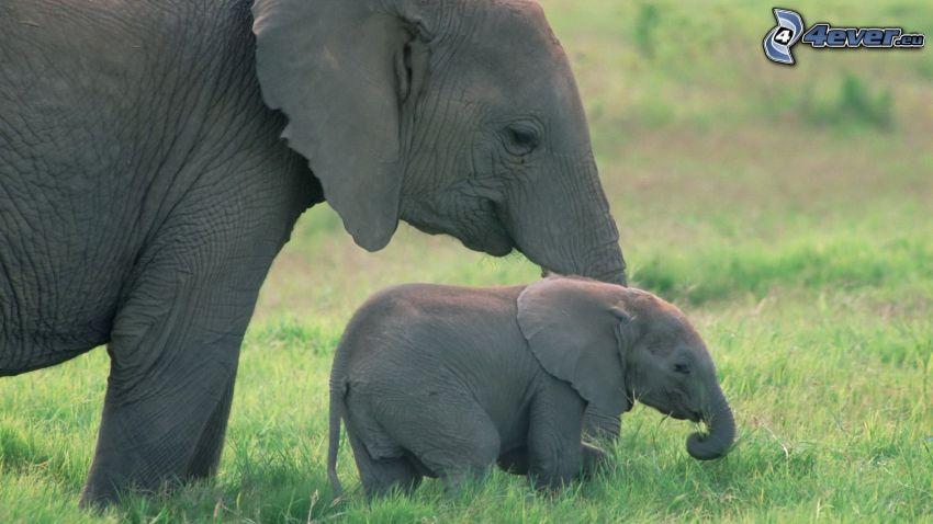 słonica, słoń