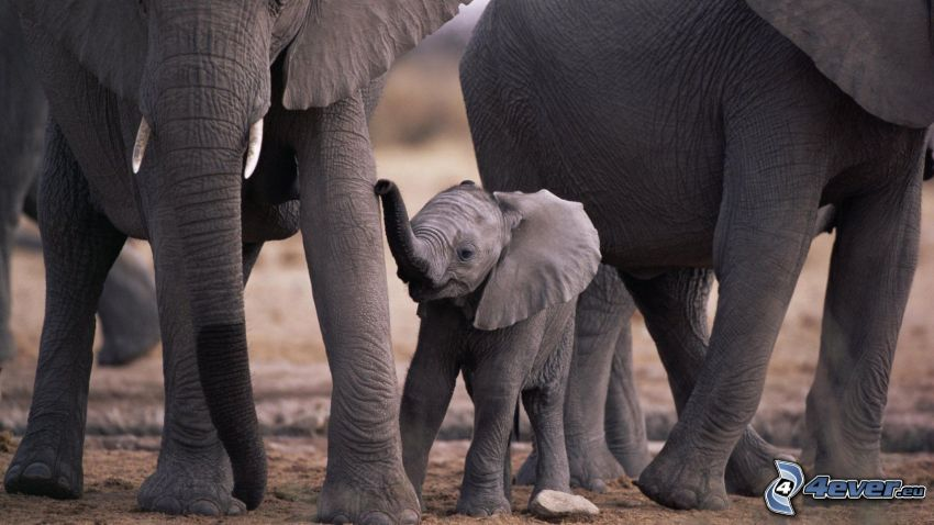 słonica, Słonie