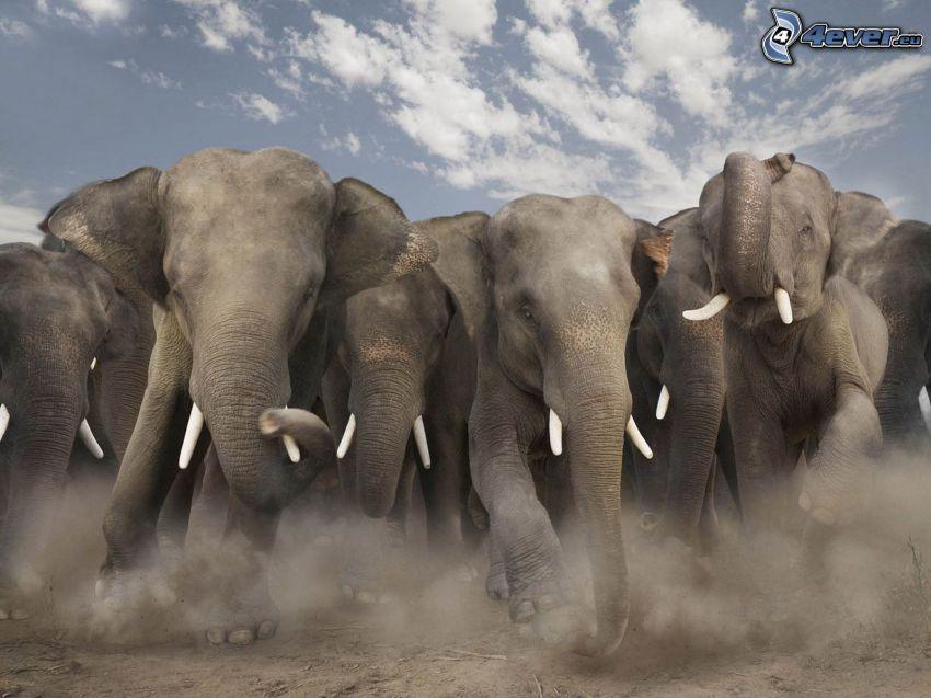 Słonie, bieg, pył