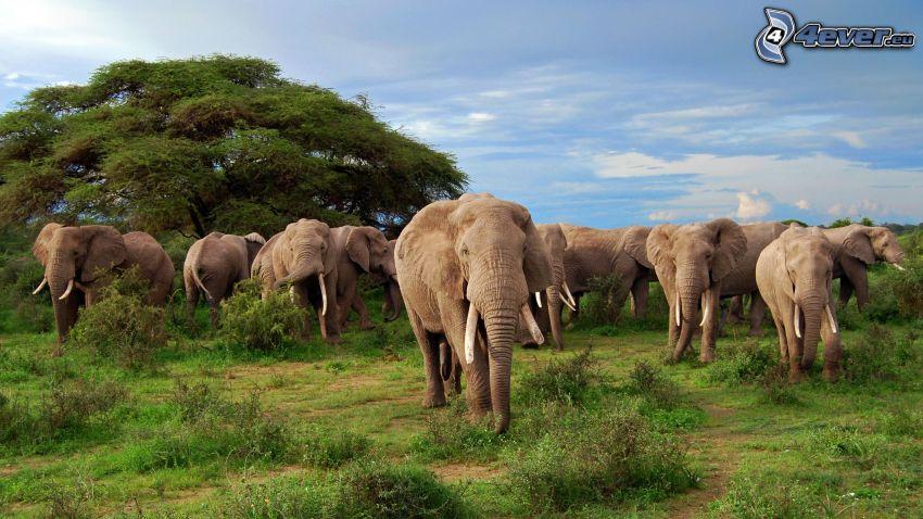 Słonie, drzewo, stado zwierząt