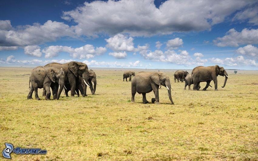 Słonie, łąka, chmury
