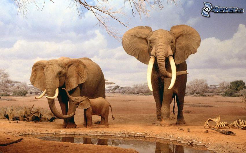 Słonie, młode, woda
