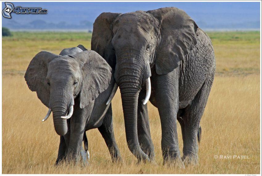 Słonie, pole