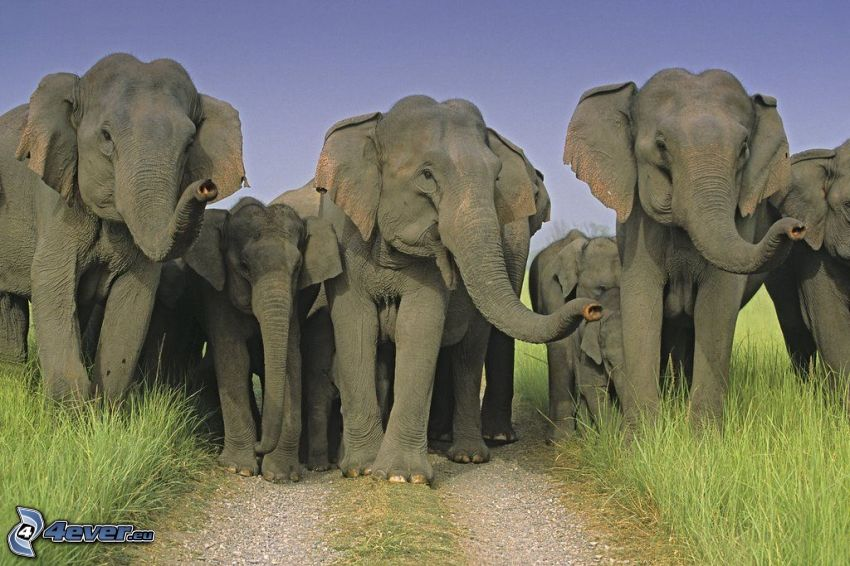 Słonie, polna droga