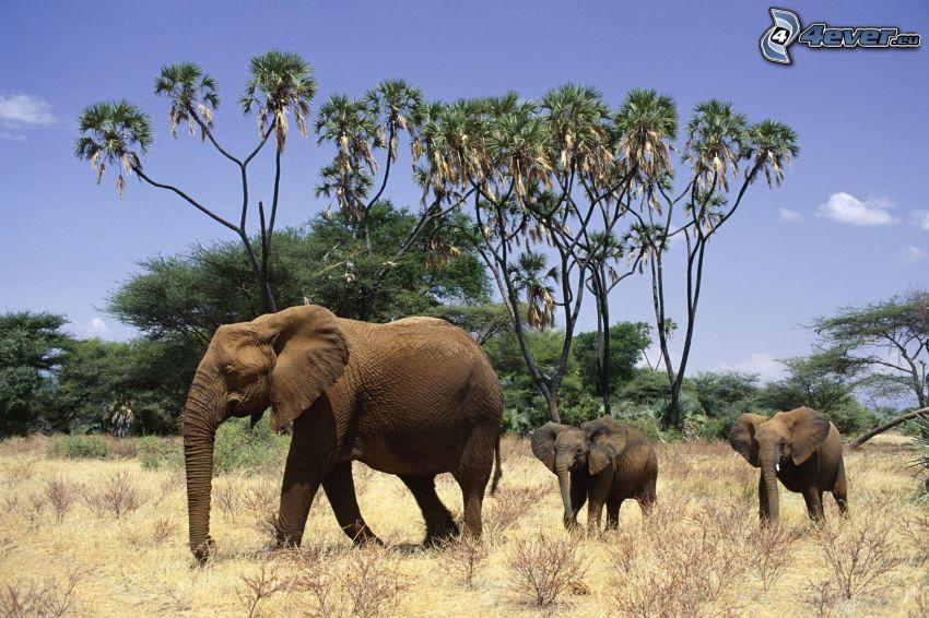 Słonie, sawanna, Afryka, drzewa