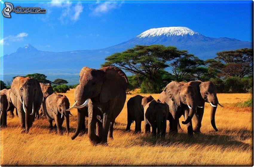 Słonie, sawanna, zaśnieżona góra, Afryka