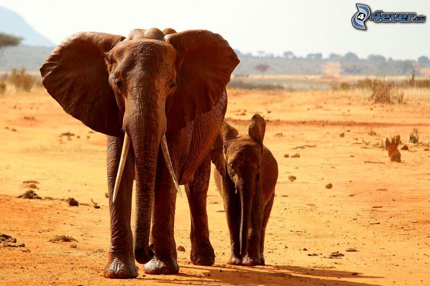 Słonie, słonica