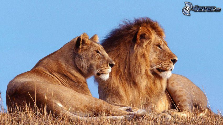 spokojne, lwy, rodzina, sawanna