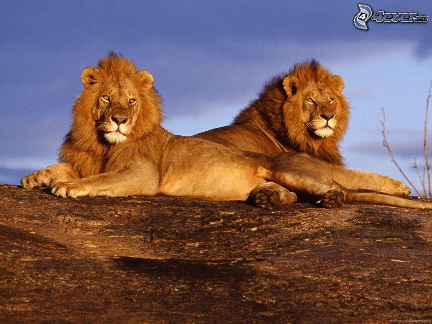 spokojne, lwy