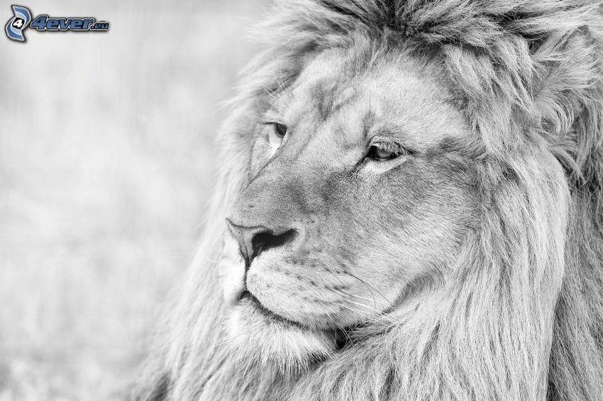 spokojny lew, czarno-białe zdjęcie