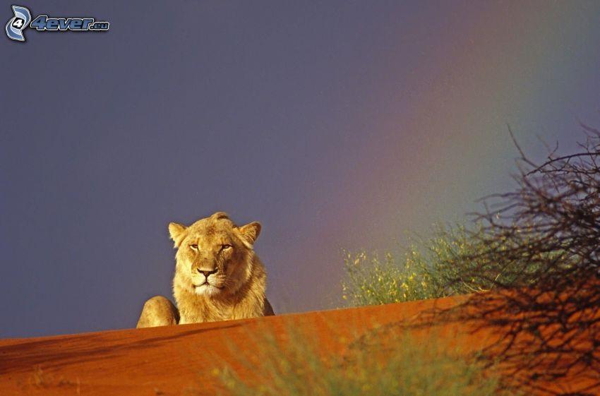 spokojny lew, niebo, tęcza