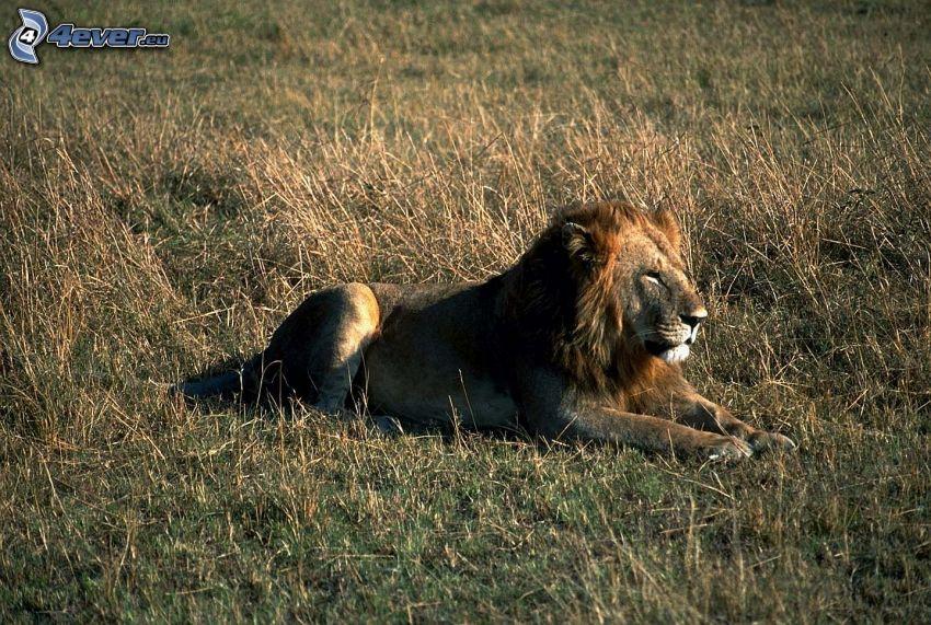 spokojny lew, sawanna