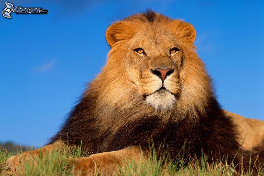 spokojny lew