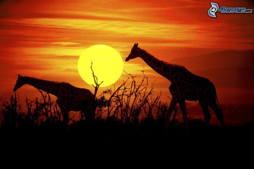 sylwetki żyraf, pomarańczowy zachód słońca
