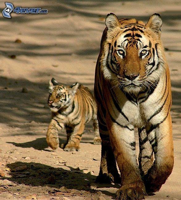 tygrys, młode, mały tygrysek, piasek