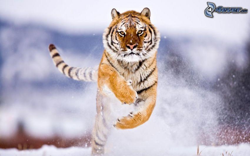 tygrys, skok