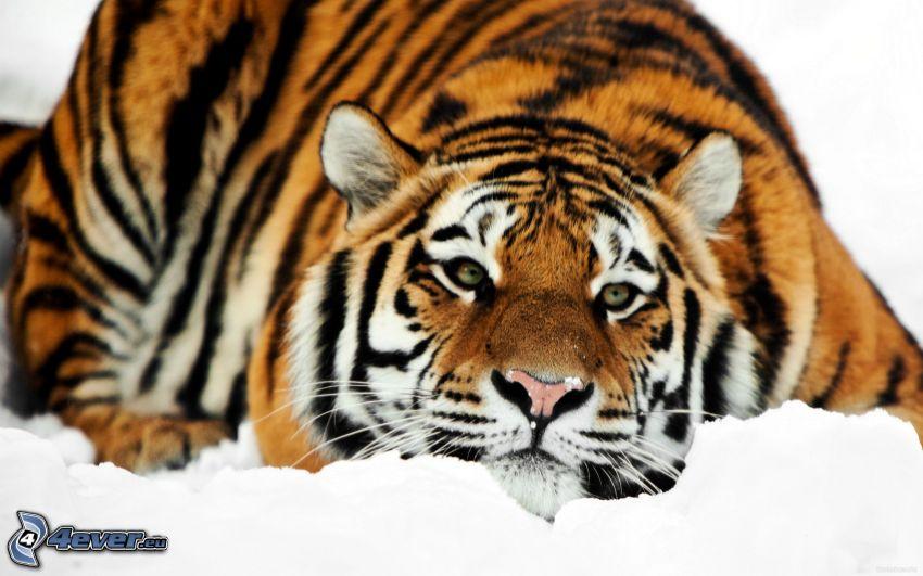 tygrys, śnieg